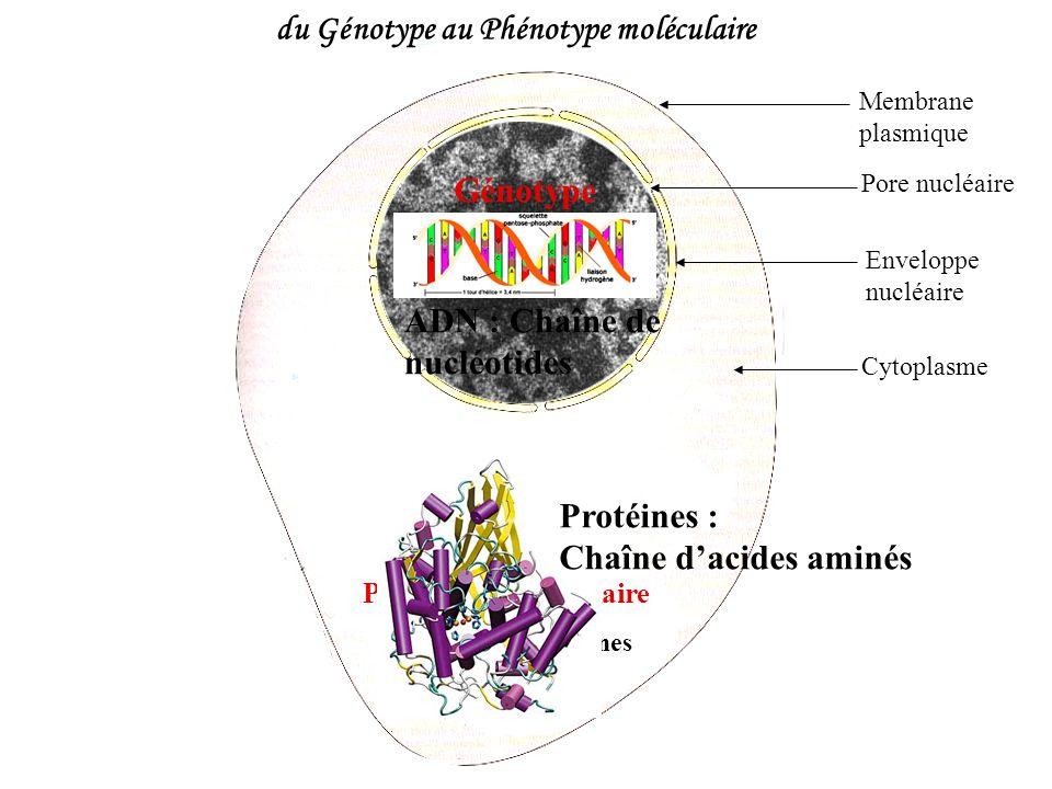 Fécondation 50% de souris (n,n) et 50% de souris (n,N) Génération F2 : 50% de souris [blanche] et 50% de souris [noire] Nombres obtenus par lexpérience : 47 souris50 souris Les proportions étant similaires, lhypothèse est validée : la couleur nest gouvernée que par un gène.