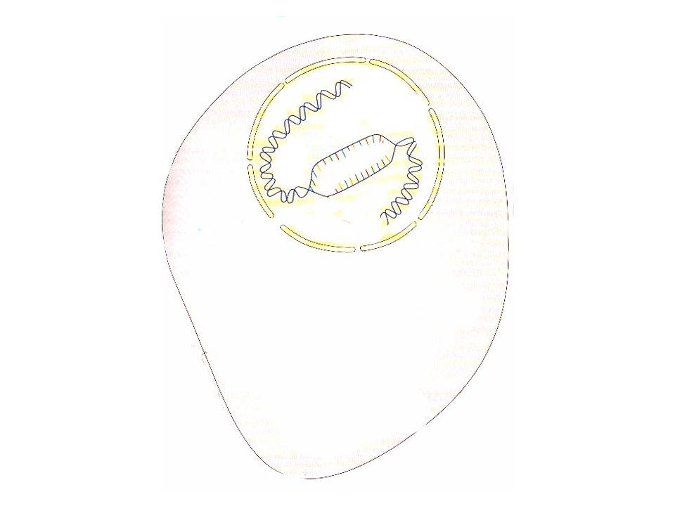 Gamète : 100 % de gamètes porteurs de lallèle n et de lallèle F Génération P : Souris blanche frisée x Souris noire raide Phénotype : [blanche, frisée] x [noire, raide] On pratique le même raisonnement pour létat des poils des souris.
