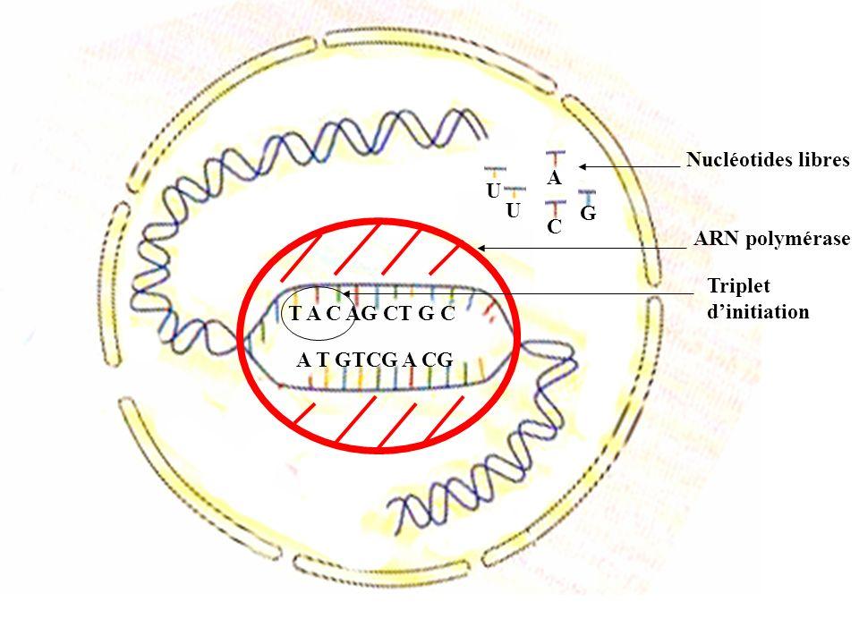 T A C A G C T G C A T G T C GA C G ARN polymérase G A C Nucléotides libres A G C A G C U G A U Déplacement ARNm Brin transcrit Brin non transcrit