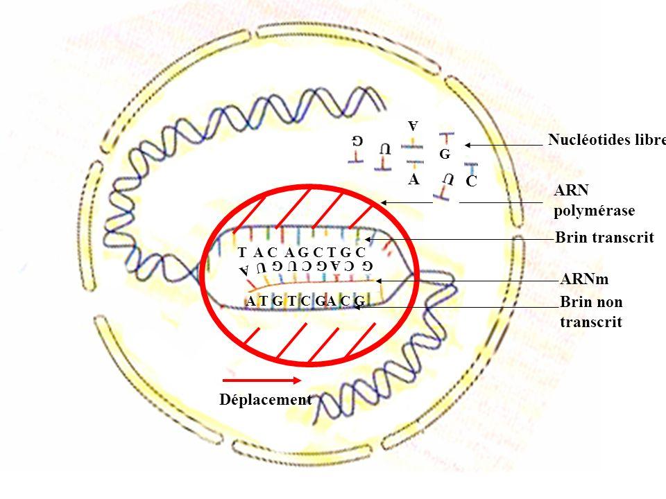 A T G TCGA CG ARN polymérase G Nucléotides libres G C AG CU G A U ARNm T A CAG CT G C Transcription Rôle de lARNpol : - Ouvre, déroule et réenroule lADN - Réalise les liaisons entre les nucléotides de lARNm du début à la fin dun gène AUG CU C CU G G CU …… U UAUAA Transfert de lARNm du noyau au cytoplasme ADN AUG CU C CU G G CU …… U UAUAA Traduction Grande sous unité Petite sous unité Ribosome Leu Val Leu Ala Met Acides aminés libres Codon dinitiation Déplacement Codon stop Rôle du ribosome : - Se fixe à lARNm - Réalise les liaisons entre les acides aminés du codon dinitiation au codon stop Schéma bilan du passage du génotype au phénotype