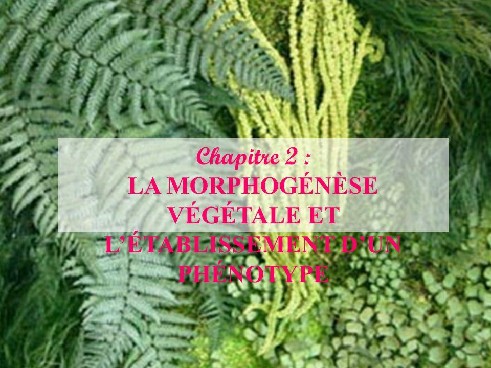Chapitre 2 : LA MORPHOGÉNÈSE VÉGÉTALE ET LÉTABLISSEMENT DUN PHÉNOTYPE