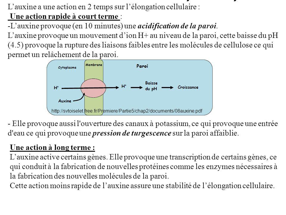 Lauxine a une action en 2 temps sur lélongation cellulaire : Une action rapide à court terme : -Lauxine provoque (en 10 minutes) une acidification de