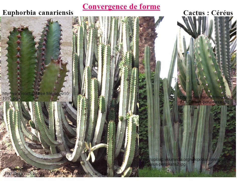 http://upload.wikimedia.org/wikipedia/commons/6/6 7/Cereus-peruvians2.jpg http://botany.cs.tamu.edu/FLORA/perdeck/euph_can_1.jpg Euphorbia canariensis