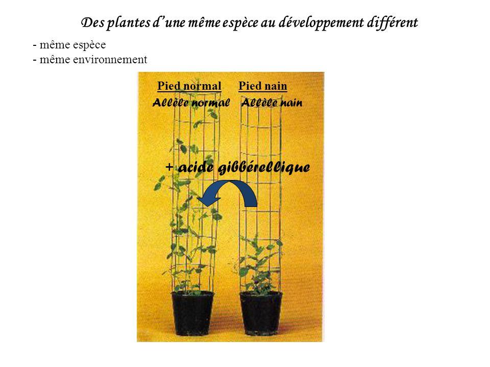 Des plantes dune même espèce au développement différent - même espèce - même environnement Pied normalPied nain + acide gibbérellique Allèle normalAll