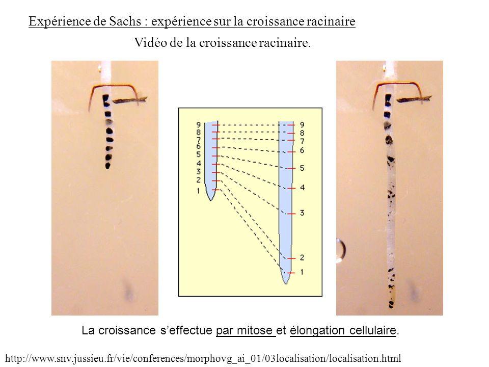 Expérience de Sachs : expérience sur la croissance racinaire http://www.snv.jussieu.fr/vie/conferences/morphovg_ai_01/03localisation/localisation.html