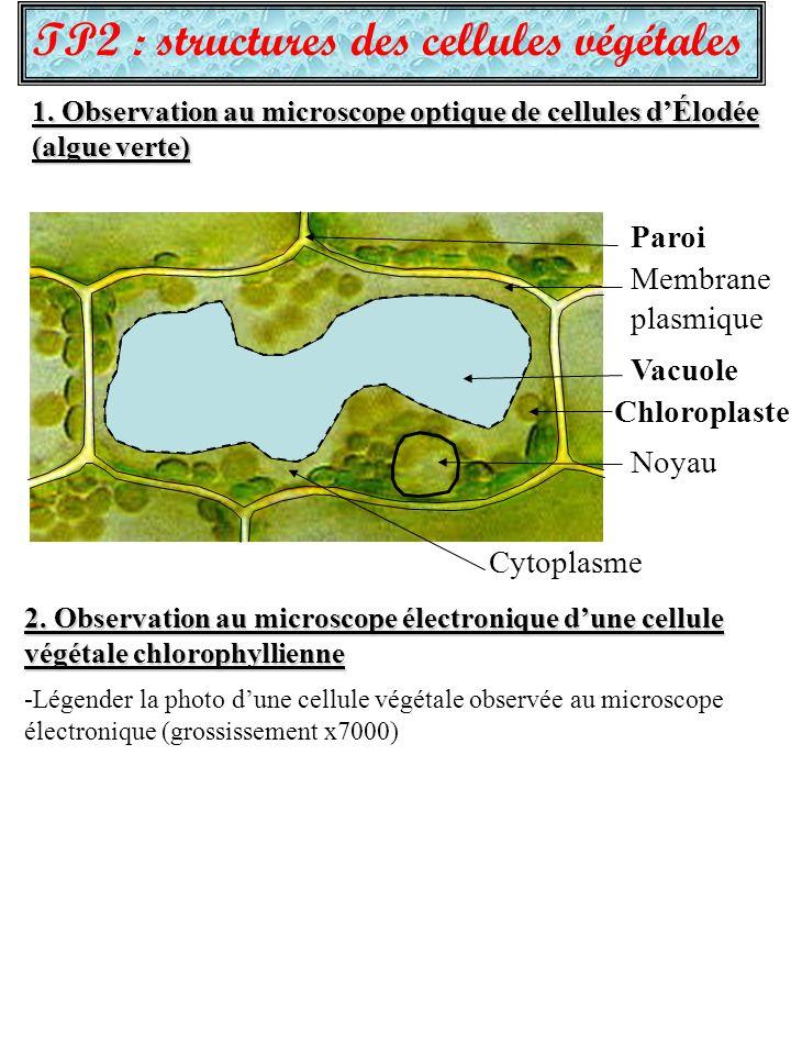TP2 : structures des cellules végétales 1. Observation au microscope optique de cellules dÉlodée (algue verte) 2. Observation au microscope électroniq