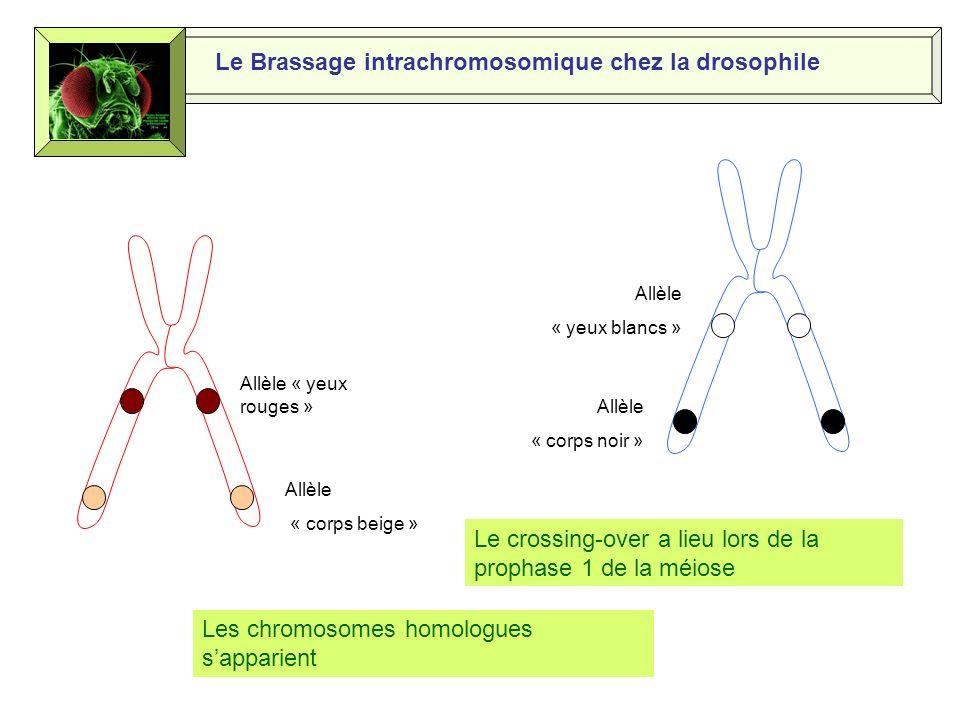 Le Brassage intrachromosomique chez la drosophile F1 F2 Phénotypes parentaux largement majoritaires Phénotypes recombinés minoritaires Chromosomes recombinés issus dun crossing-over
