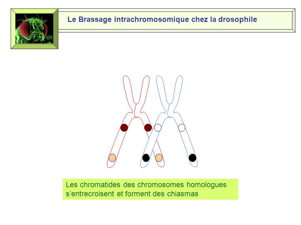 Le Brassage intrachromosomique chez la drosophile Le crossing-over a lieu lors de la prophase 1 de la méiose Les chromosomes homologues sapparient Allèle « yeux rouges » Allèle « corps beige » Allèle « yeux blancs » Allèle « corps noir »