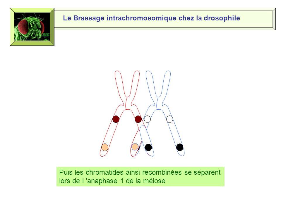 Le Brassage intrachromosomique chez la drosophile Les chromatides des chromosomes homologues sentrecroisent et forment des chiasmas