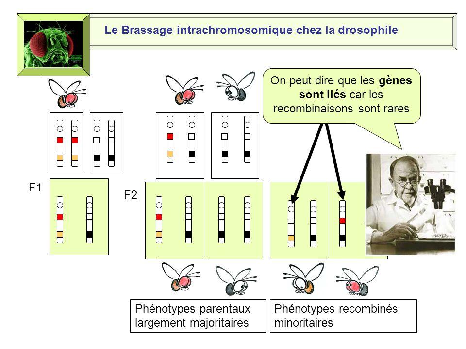 Le Brassage intrachromosomique chez la drosophile Les chromatides des chromosomes homologues sentrecroisent et forment des chiasmas Puis les chromatides ainsi recombinées se séparent lors de l anaphase 1 de la méiose