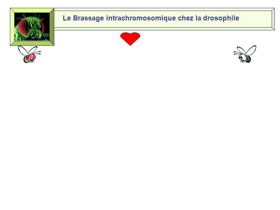 Le brassage intrachromosomique chez la drosophile H. Horion lycée Maupassant Fécamp