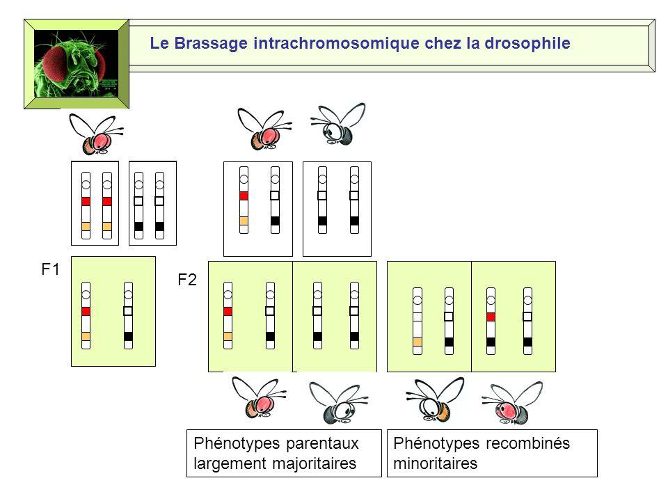 Le Brassage intrachromosomique chez la drosophile Nous ressemblons à nos parents; nous sommes les phénotypes parentaux Nous sommes vos frères et sœurs même si nous sommes légèrement différents de nos parents Nous sommes issus dun brassage intrachromosomique lors de la prophase de la première division de la méiose