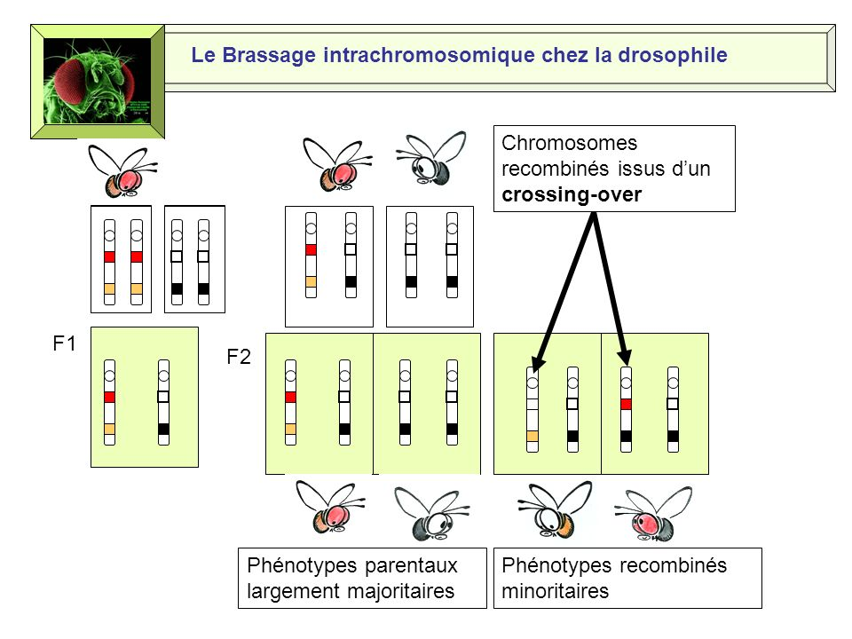 Le Brassage intrachromosomique chez la drosophile F1 F2 Phénotypes parentaux largement majoritaires Phénotypes recombinés minoritaires