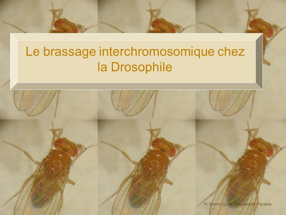 100% Le brassage interchromosomique chez la Drosophile 25% 25% Les phénotypes de F2 sont équiprobables (25%/25%/25%/25%) On peut donc dire que les gènes gouvernant ces deux caractères sont indépendants; cest à dire portés par des paires de chromosomes différents