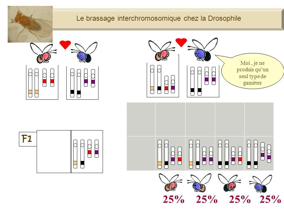 100% Moi, je ne produis quun seul type de gamètes Le brassage interchromosomique chez la Drosophile
