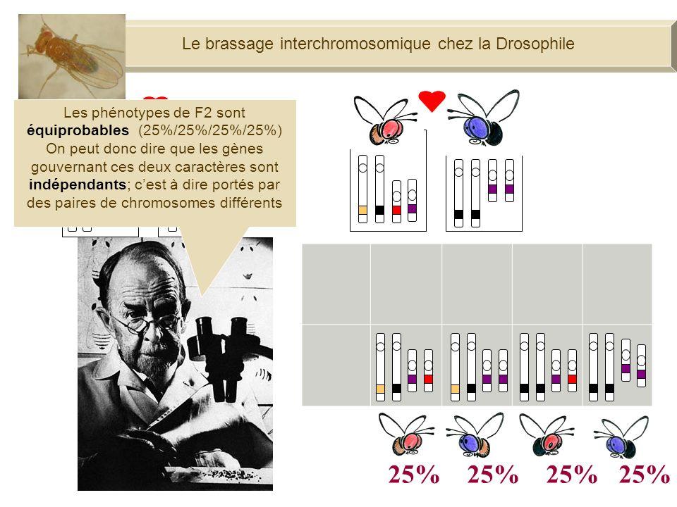 F1 100% Moi, je ne produis quun seul type de gamètes Le brassage interchromosomique chez la Drosophile 25% 25%