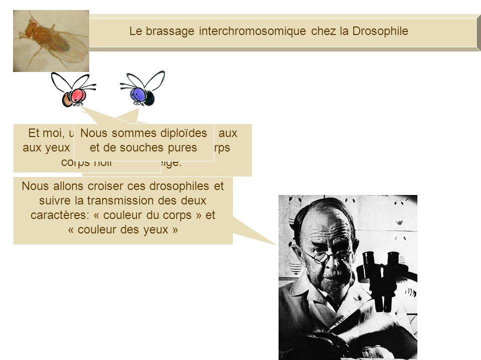 Le brassage interchromosomique chez la Drosophile Je suis une drosophile aux yeux rouges et au corps beige.
