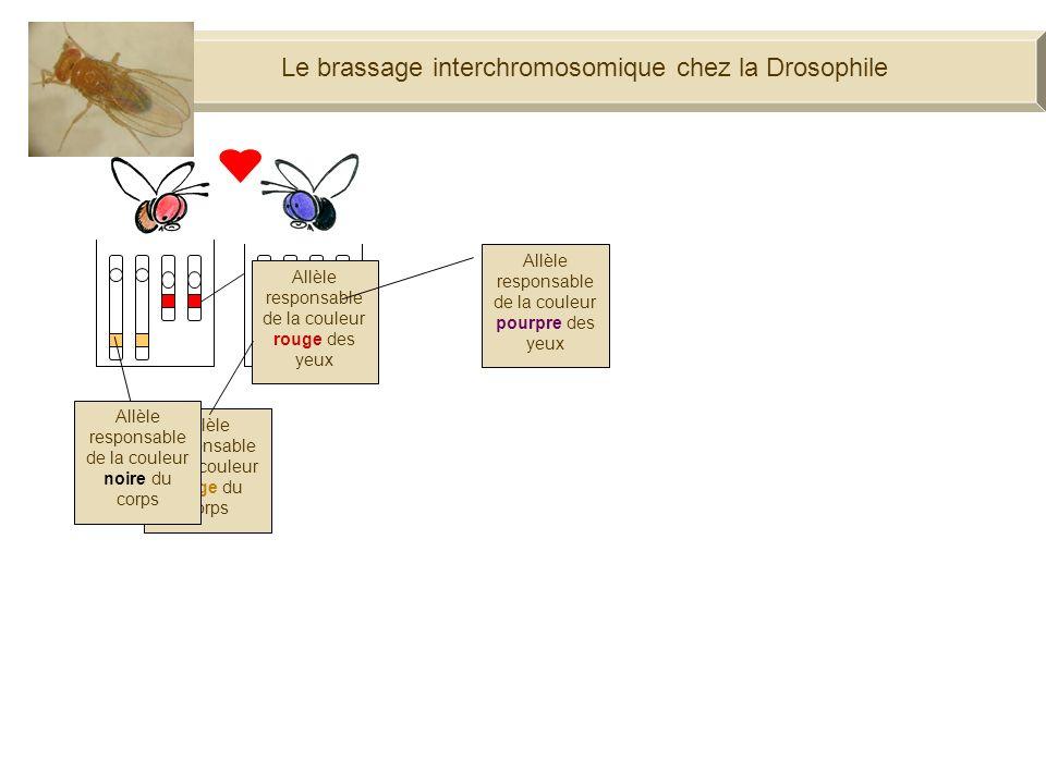 Le brassage interchromosomique chez la Drosophile Je suis une drosophile aux yeux rouges et au corps beige. Et moi, une drosophile aux yeux pourpres e
