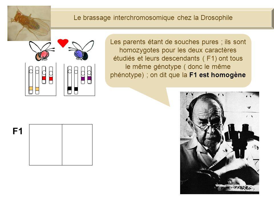 Le brassage interchromosomique chez la Drosophile F1 Les parents étant de souches pures ; ils sont homozygotes pour les deux caractères étudiés et leurs descendants ( F1) ont tous le même génotype ( donc le même phénotype) ; on dit que la F1 est homogène