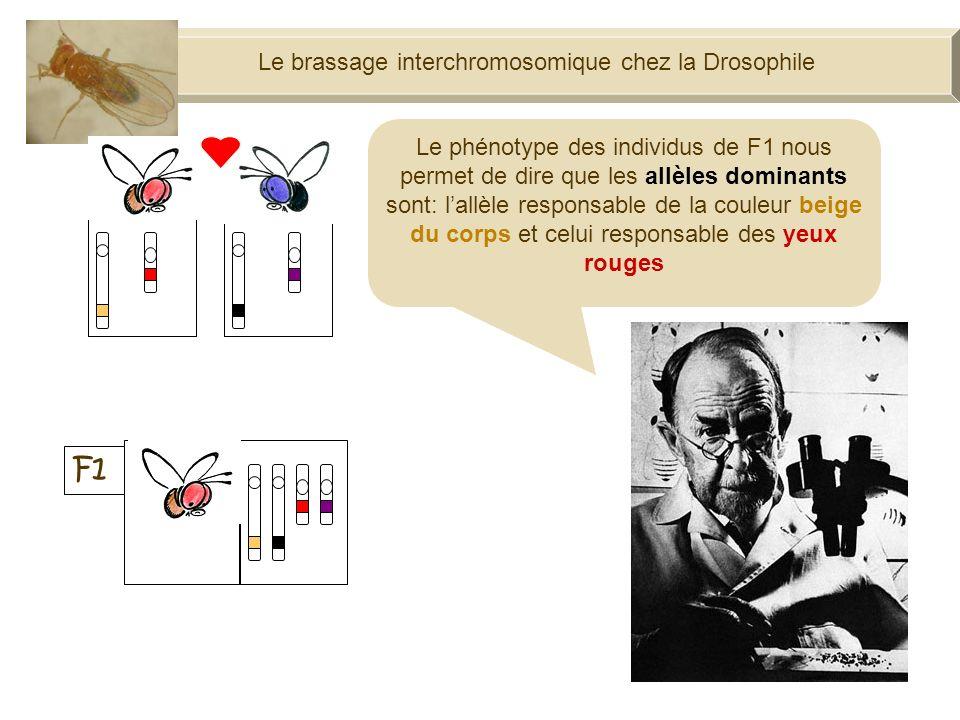 Le brassage interchromosomique chez la Drosophile F1 100% Le phénotype des individus de F1 nous permet de dire que les allèles dominants sont: lallèle responsable de la couleur beige du corps et celui responsable des yeux rouges