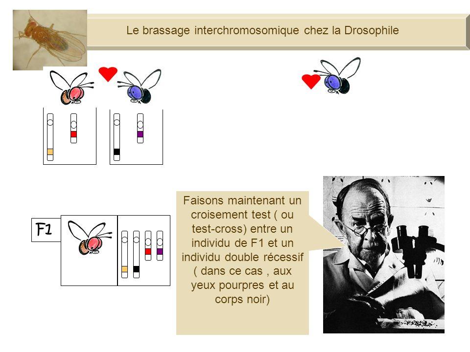Le brassage interchromosomique chez la Drosophile F1 100% Faisons maintenant un croisement test ( ou test-cross) entre un individu de F1 et un individu double récessif ( dans ce cas, aux yeux pourpres et au corps noir)