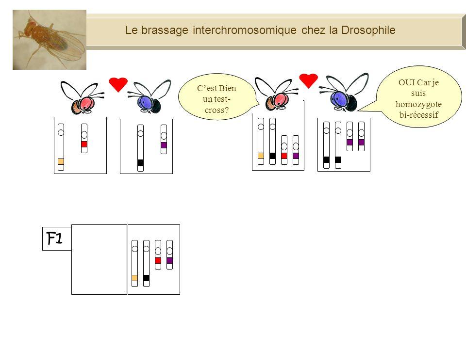 Le brassage interchromosomique chez la Drosophile F1 100% Cest Bien un test- cross.
