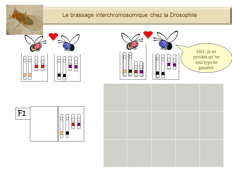 100% Moi, je ne produis quun seul type de gamètes Le brassage interchromosomique chez la Drosophile F1