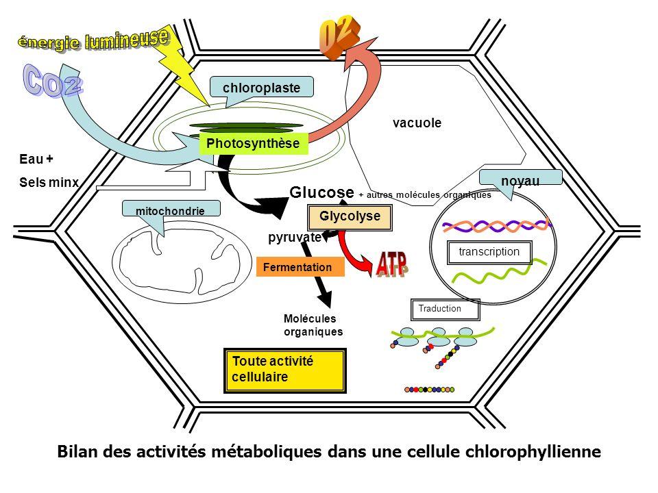Bilan des activités métaboliques dans une cellule chlorophyllienne Toute activité cellulaire mitochondrie Traduction noyau transcription vacuole pyruvate Glycolyse Molécules organiques Fermentation chloroplaste Photosynthèse Glucose + autres molécules organiques Eau + Sels minx
