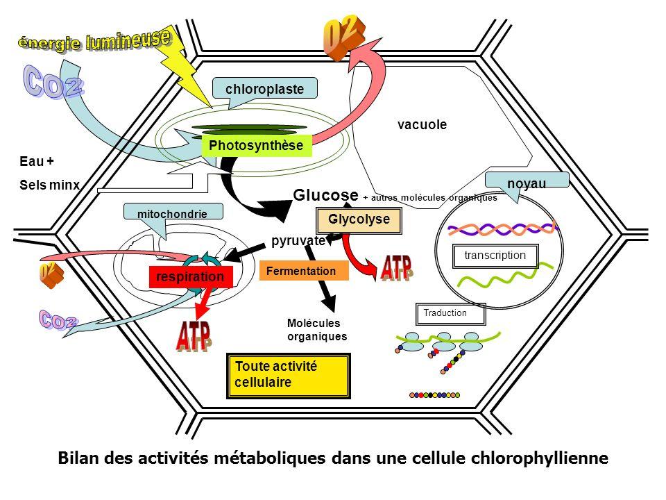 Bilan des activités métaboliques dans une cellule chlorophyllienne Toute activité cellulaire mitochondrie Traduction noyau transcription chloroplaste vacuole pyruvate Photosynthèse Glycolyse respiration Glucose + autres molécules organiques Eau + Sels minx Molécules organiques Fermentation