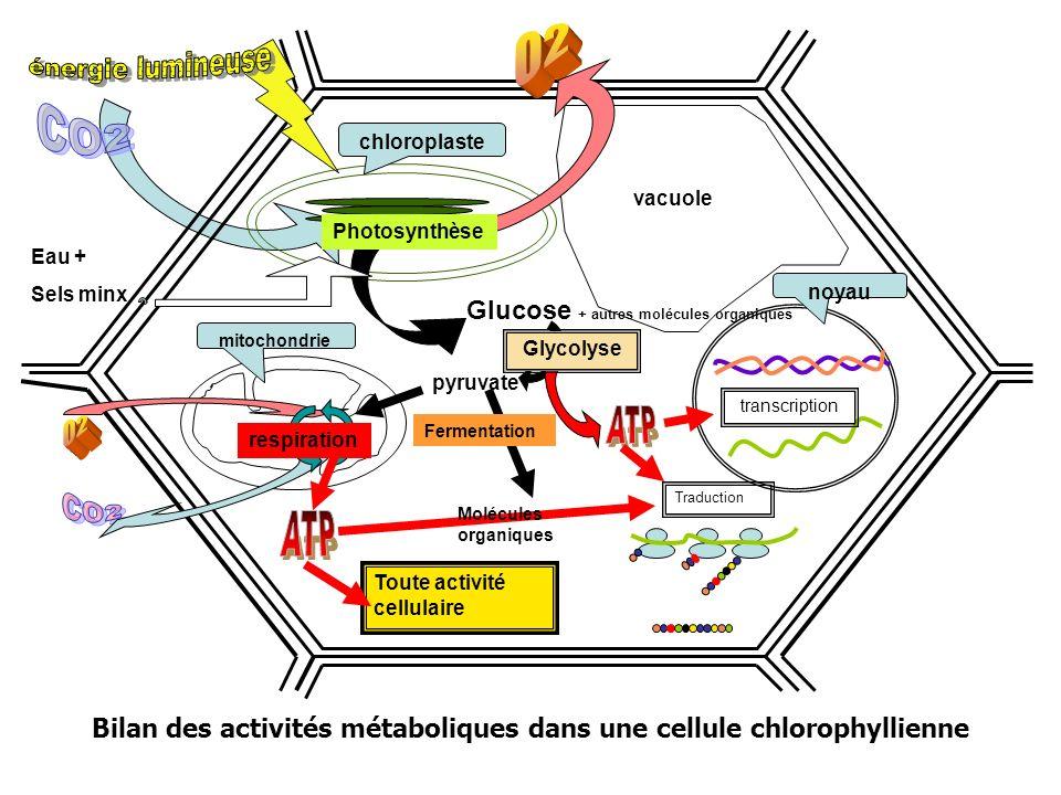 Bilan des activités métaboliques dans une cellule chlorophyllienne Toute activité cellulaire mitochondrie Traduction noyau transcription chloroplaste vacuole Glucose + autres molécules organiques pyruvate Photosynthèse Glycolyse respiration Eau + Sels minx Molécules organiques Fermentation