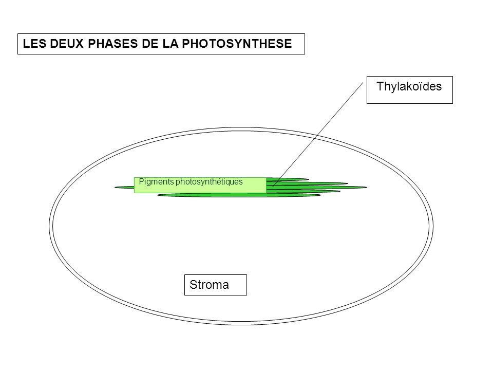 Thylakoïdes Stroma LES DEUX PHASES DE LA PHOTOSYNTHESE Pigments photosynthétiques