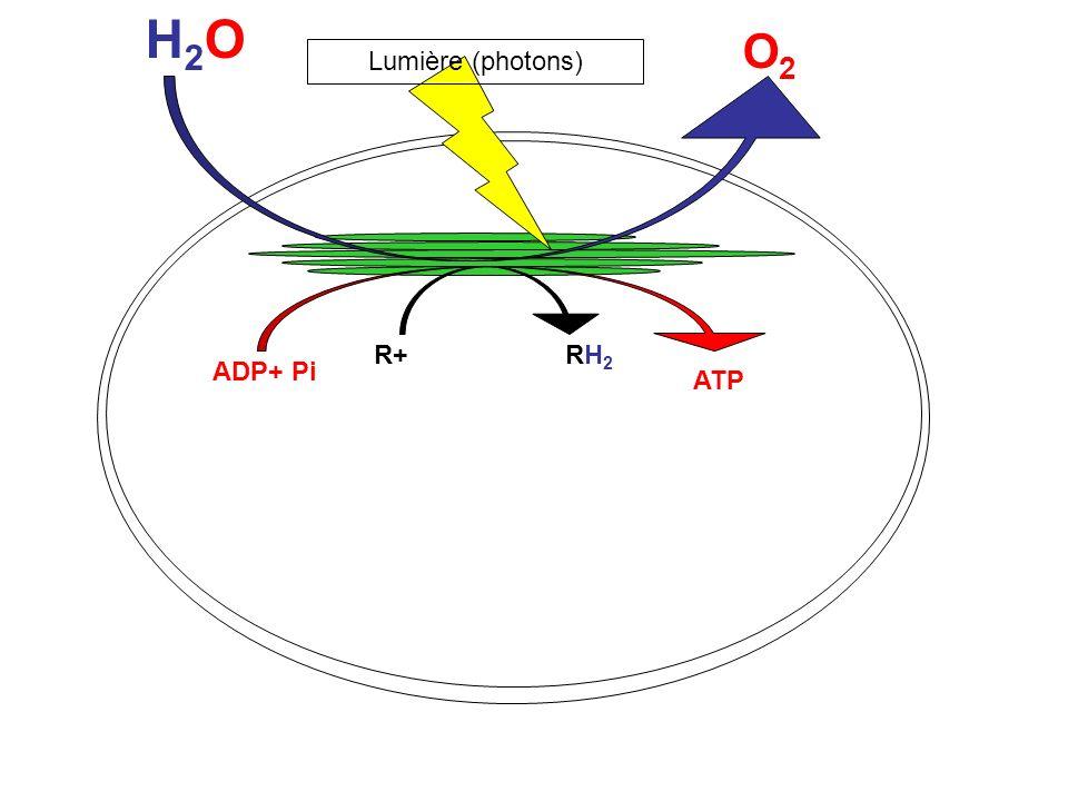 H2OH2O O2O2 R+ RH 2 ADP+ Pi ATP Lumière (photons)