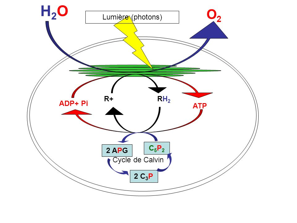 H2OH2O O2O2 R+ RH 2 ADP+ Pi ATP Lumière (photons) C5P2C5P2 2 APG 2 C 3 P Cycle de Calvin CO 2
