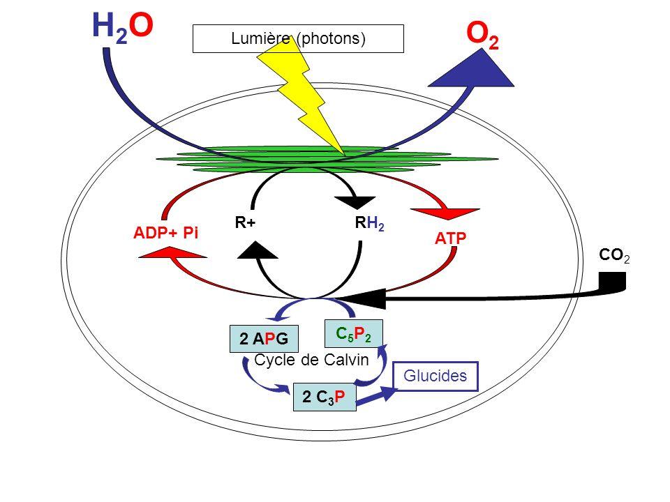 H2OH2O O2O2 R+ RH 2 ADP+ Pi ATP Lumière (photons) C5P2C5P2 2 APG 2 C 3 P Cycle de Calvin CO 2 Glucides Exportation: synthèse de saccharose, autres glucides,lipides,protides et acides nucléiques Stockage temporaire:amidon