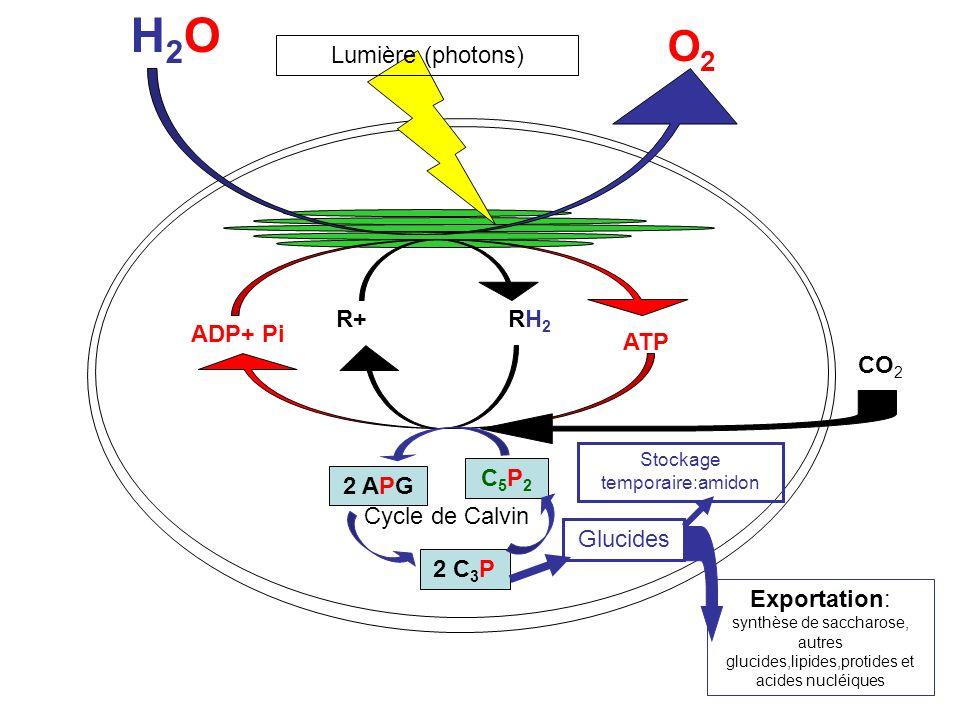 H2OH2O O2O2 R+ RH 2 ADP+ Pi ATP Lumière (photons) C5P2C5P2 2 APG 2 C 3 P Cycle de Calvin CO 2 Glucides Exportation: synthèse de saccharose, autres glucides,lipides,protides et acides nucléiques Stockage temporaire:amidon Phase photochimique: système doxydo- réduction