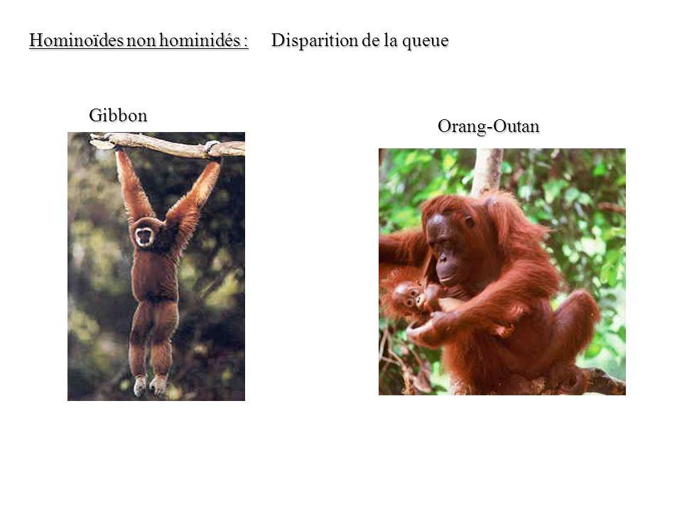 Gibbon Orang-Outan Hominoïdes non hominidés : Disparition de la queue