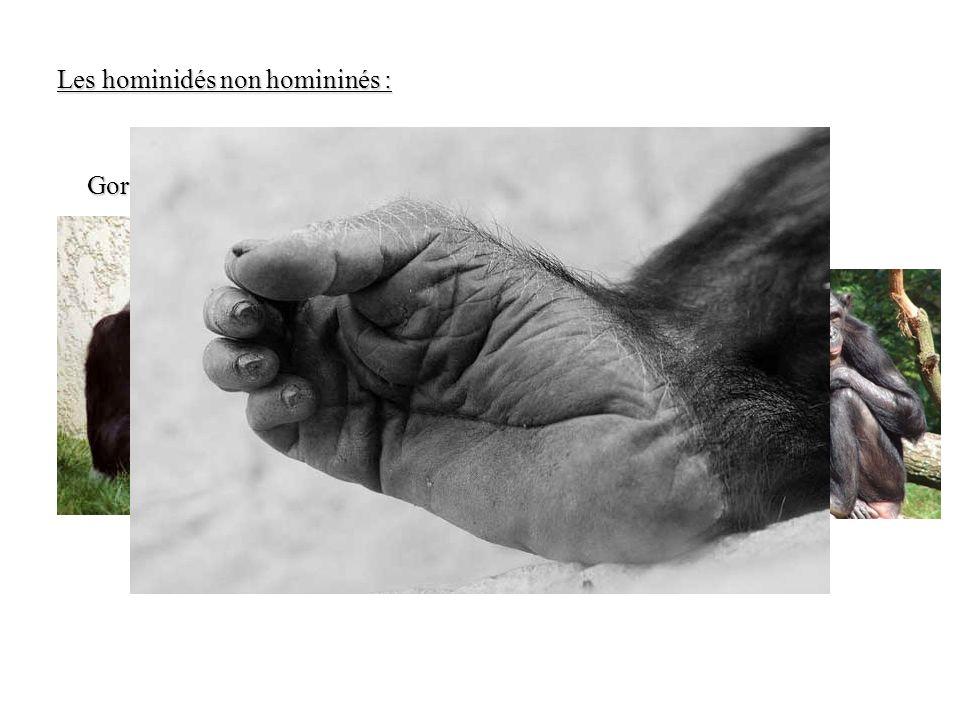 Gorille Chimpanzé Bonobo Les hominidés non homininés :