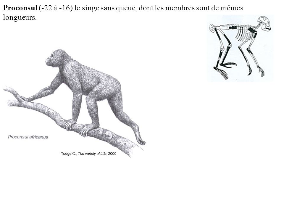 Proconsul (-22 à -16) le singe sans queue, dont les membres sont de mêmes longueurs.