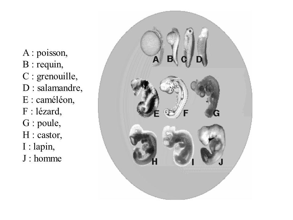 A : poisson, B : requin, C : grenouille, D : salamandre, E : caméléon, F : lézard, G : poule, H : castor, I : lapin, J : homme