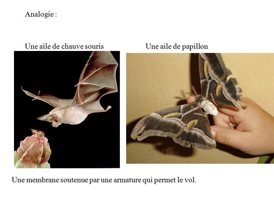 Analogie : Une aile de chauve souris Une aile de papillon Une membrane soutenue par une armature qui permet le vol.