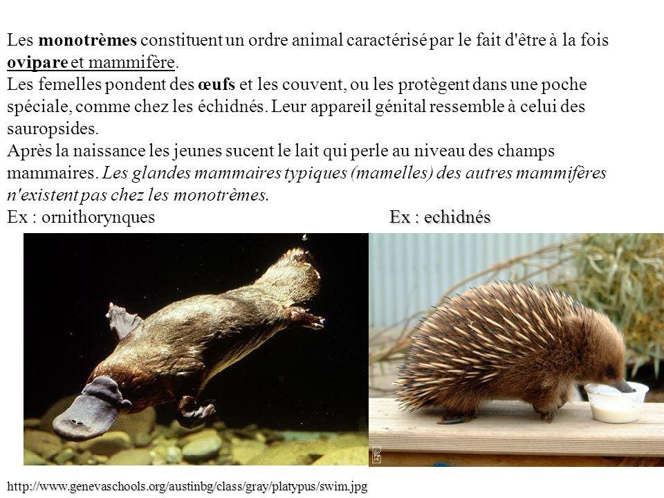 Les monotrèmes constituent un ordre animal caractérisé par le fait d'être à la fois ovipare et mammifère. Les femelles pondent des œufs et les couvent