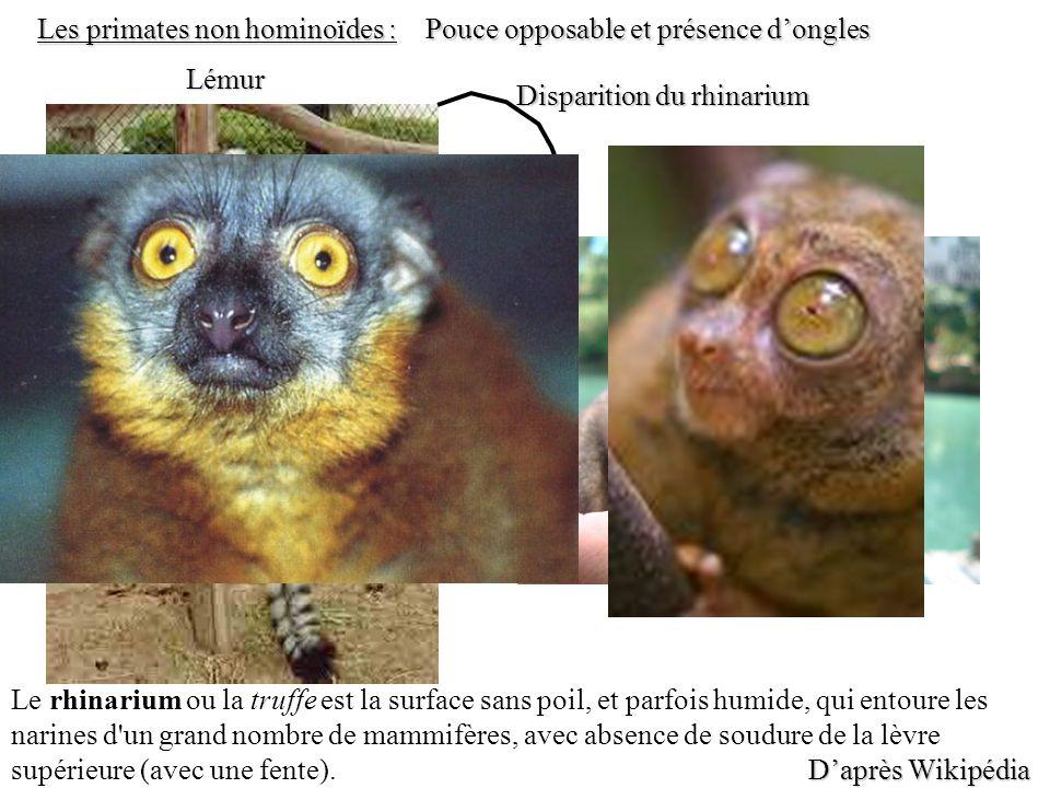 Tarsier Lémur Les primates non hominoïdes : Daprès Wikipédia Le rhinarium ou la truffe est la surface sans poil, et parfois humide, qui entoure les na