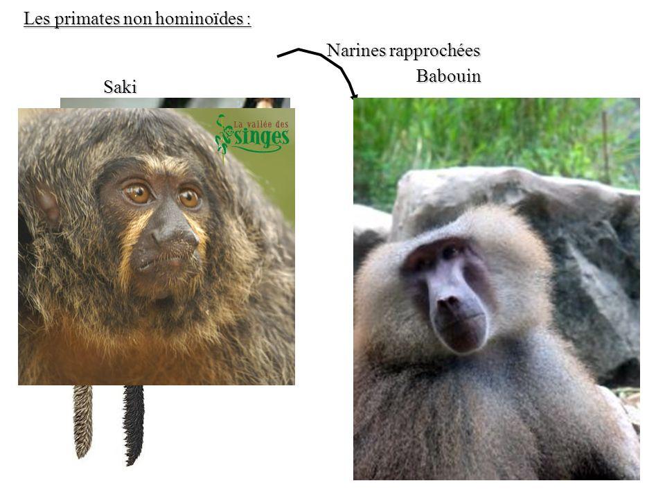 Saki Babouin Les primates non hominoïdes : Narines rapprochées