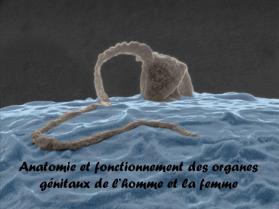 Anatomie et fonctionnement des organes génitaux de lhomme et la femme