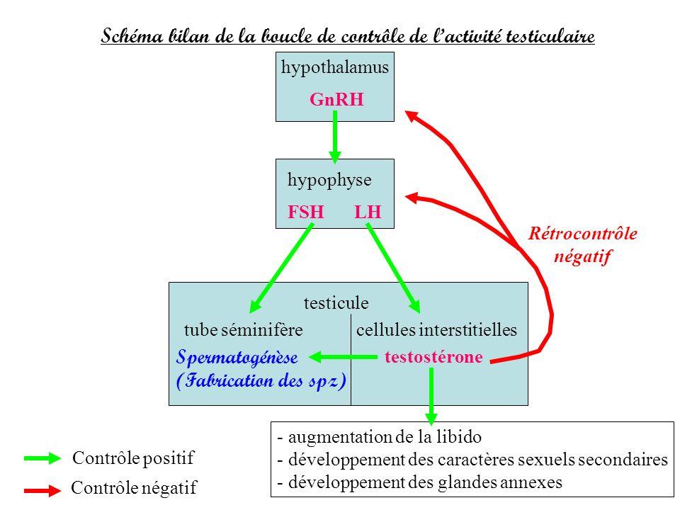 Schéma bilan de la boucle de contrôle de lactivité testiculaire hypothalamus hypophyse testicule tube séminifèrecellules interstitielles GnRH FSHLH te