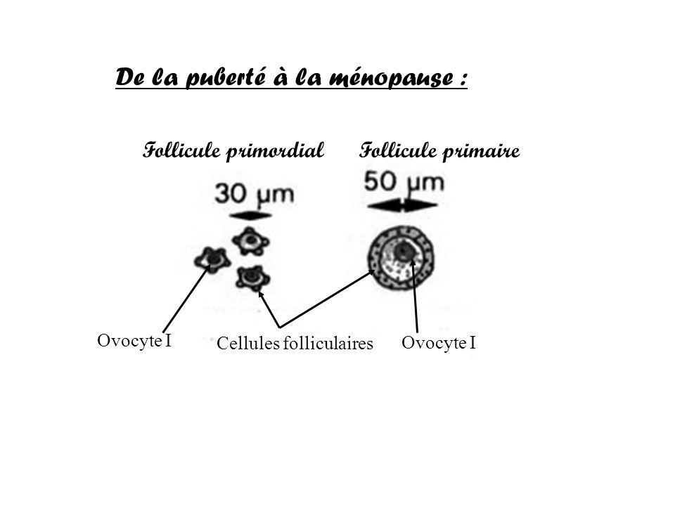 De la puberté à la ménopause : Ovocyte I Cellules folliculaires Follicule primordial Follicule primaire Ovocyte I