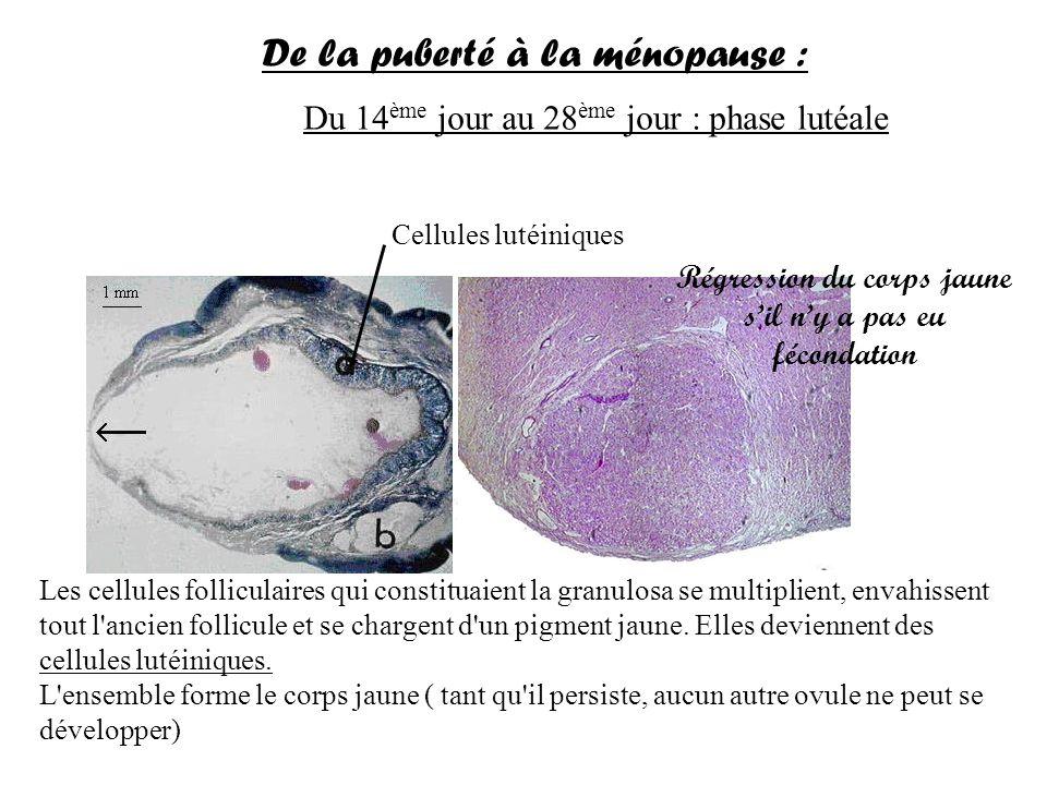 Du 14 ème jour au 28 ème jour : phase lutéale Corps jaune De la puberté à la ménopause : Les cellules folliculaires qui constituaient la granulosa se multiplient, envahissent tout l ancien follicule et se chargent d un pigment jaune.