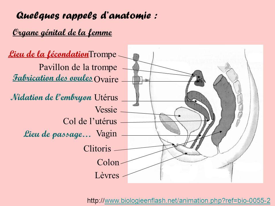 Quelques rappels danatomie : Organe génital de la femme Utérus Trompe Ovaire Vagin Fabrication des ovules Nidation de lembryon Lieu de passage… Vessie