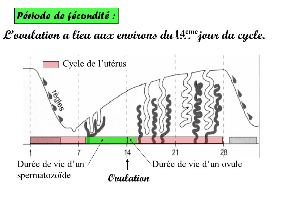 Période de fécondité : Lovulation a lieu aux environs du.… jour du cycle.