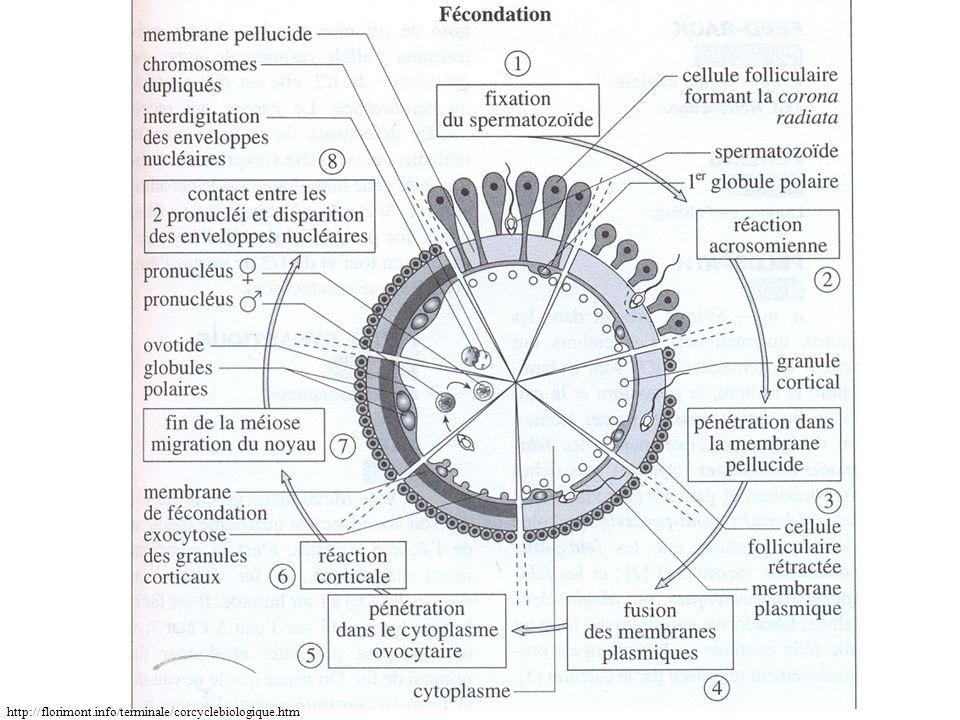 http://florimont.info/terminale/corcyclebiologique.htm